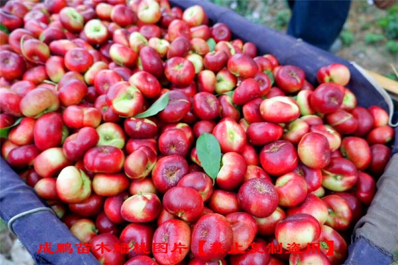 香格里拉36-5油蟠桃价格行情