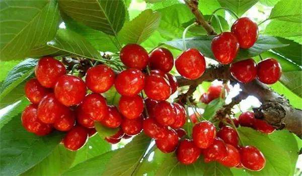 5公分的美早樱桃树苗多少钱一棵,安徽铜陵