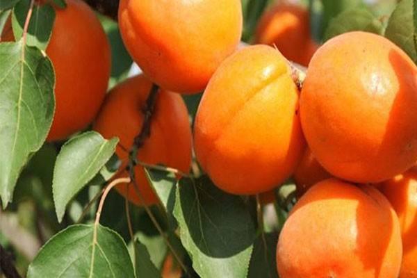 连城杏树苗多少钱一棵