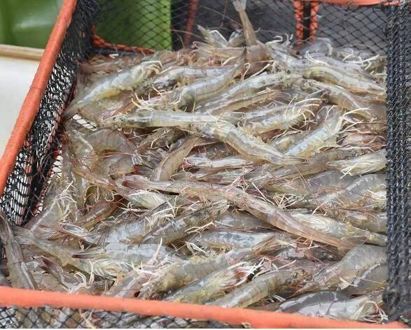新安白对虾养殖方法