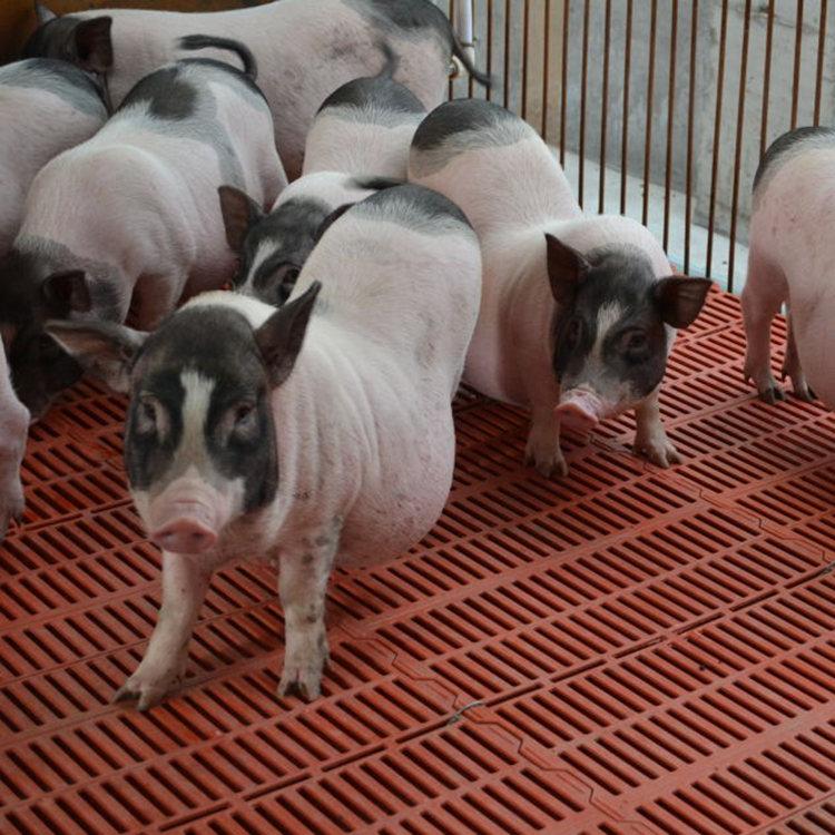 6分钟前:想养一只小香猪出售价格厂家直供
