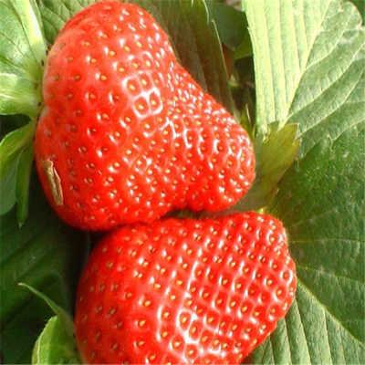 麗水市陸地草莓苗售價