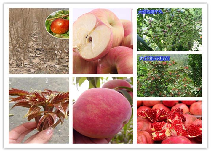 陜西咸陽矮化蘋果樹苗質優價廉
