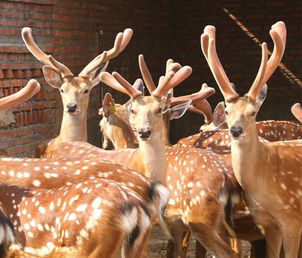 霸州哪里有养鹿的前景