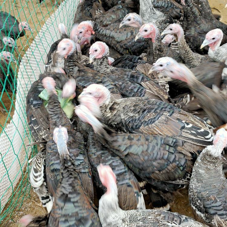 巴州区太湖育肥猪养殖基地